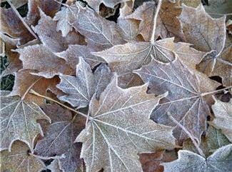 Frost Covered Autumn Leaves